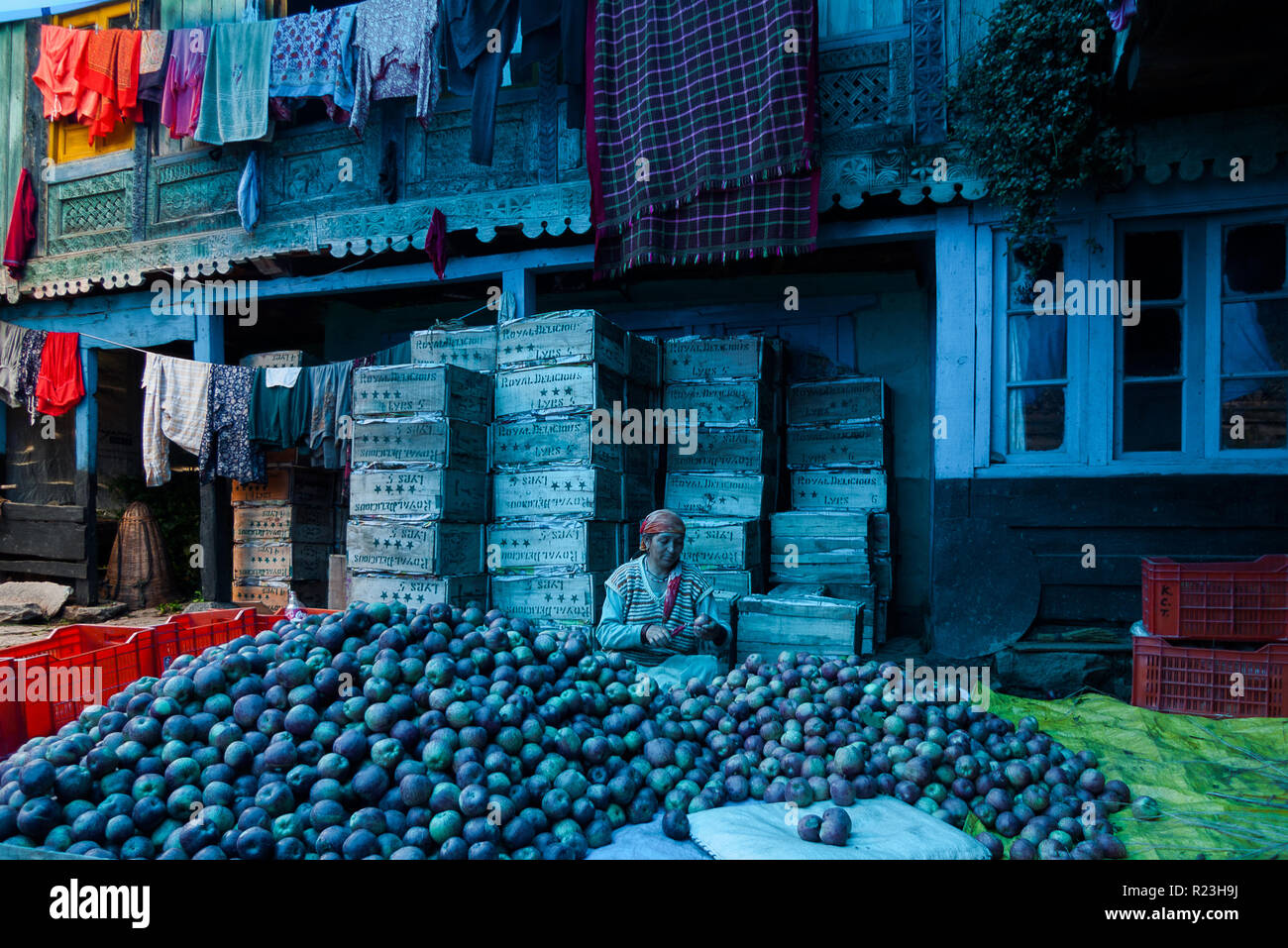 India, Himachal Pradesh, Vashist, 08/11/2010: apple warehouse and local worker preparing apples.The blue light of the photo depends on the reflection  - Stock Image