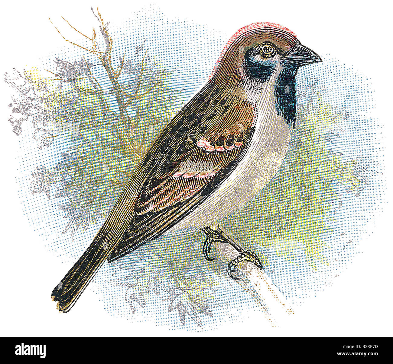 1898 colour engraving of a Eurasian tree sparrow (Passer montanus). - Stock Image