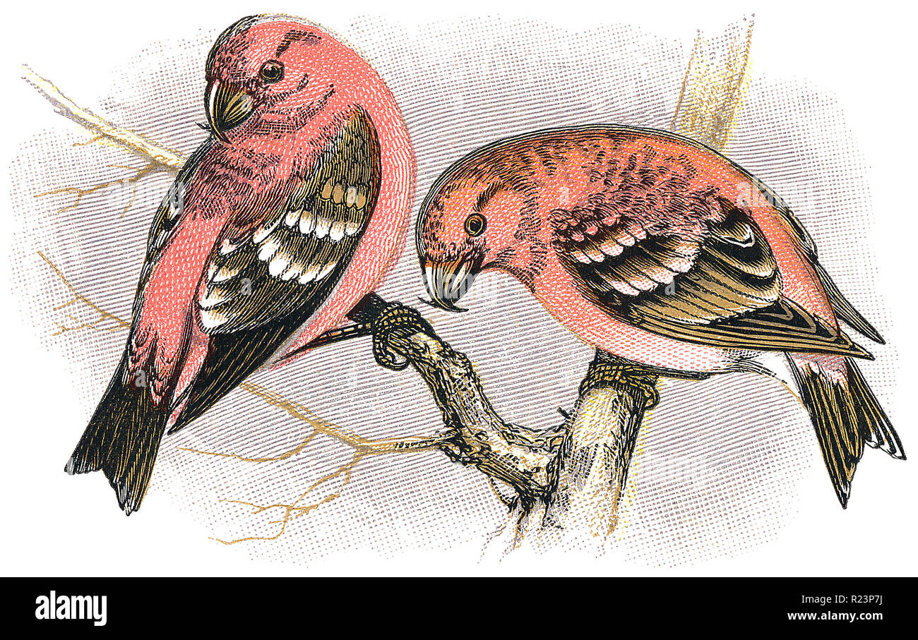 1898 colour engraving of two male two-barred crossbills (loxia leucoptera). - Stock Image