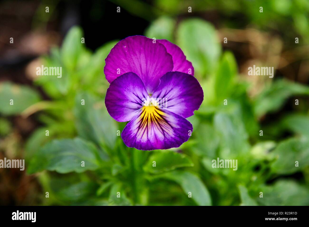 A lone deep pink and purple violet flower in a garden Stock Photo