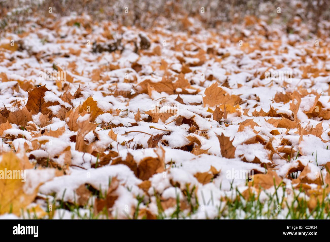 Fallen leaves covering the ground with a light dusting of snow on top of the fall leaves. This was taken in the November in Michigan. - Stock Image