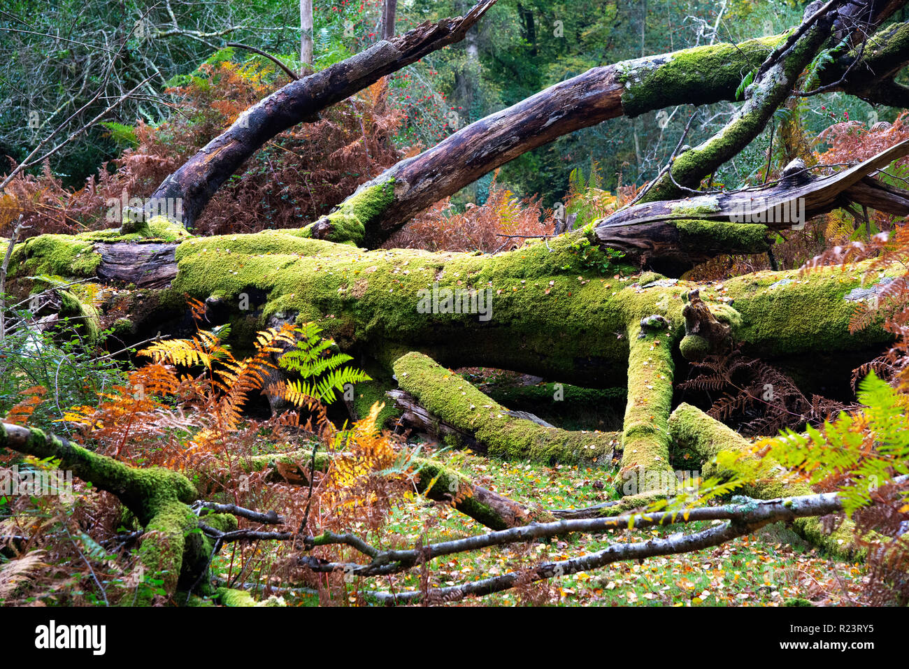 Old moss covered tree fallen to the ground in the New Forest National Park, Hampshire, UK, England Stock Photo