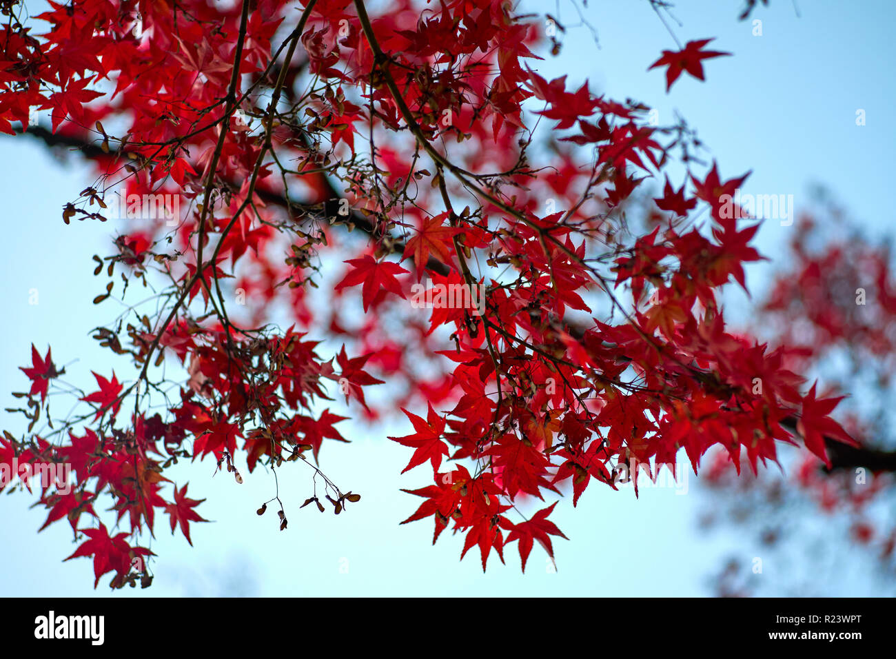 Red Japanese Maple Tree In Autumn Kyoto Japan Asia Stock Photo