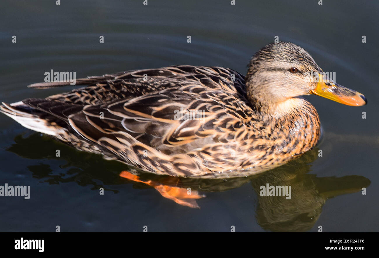 Ducks - Stock Image