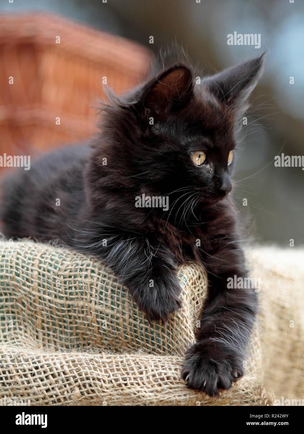 Sweet Black Norwegian Forest Cat Kitten Resting Outdoors Stock Photo Alamy