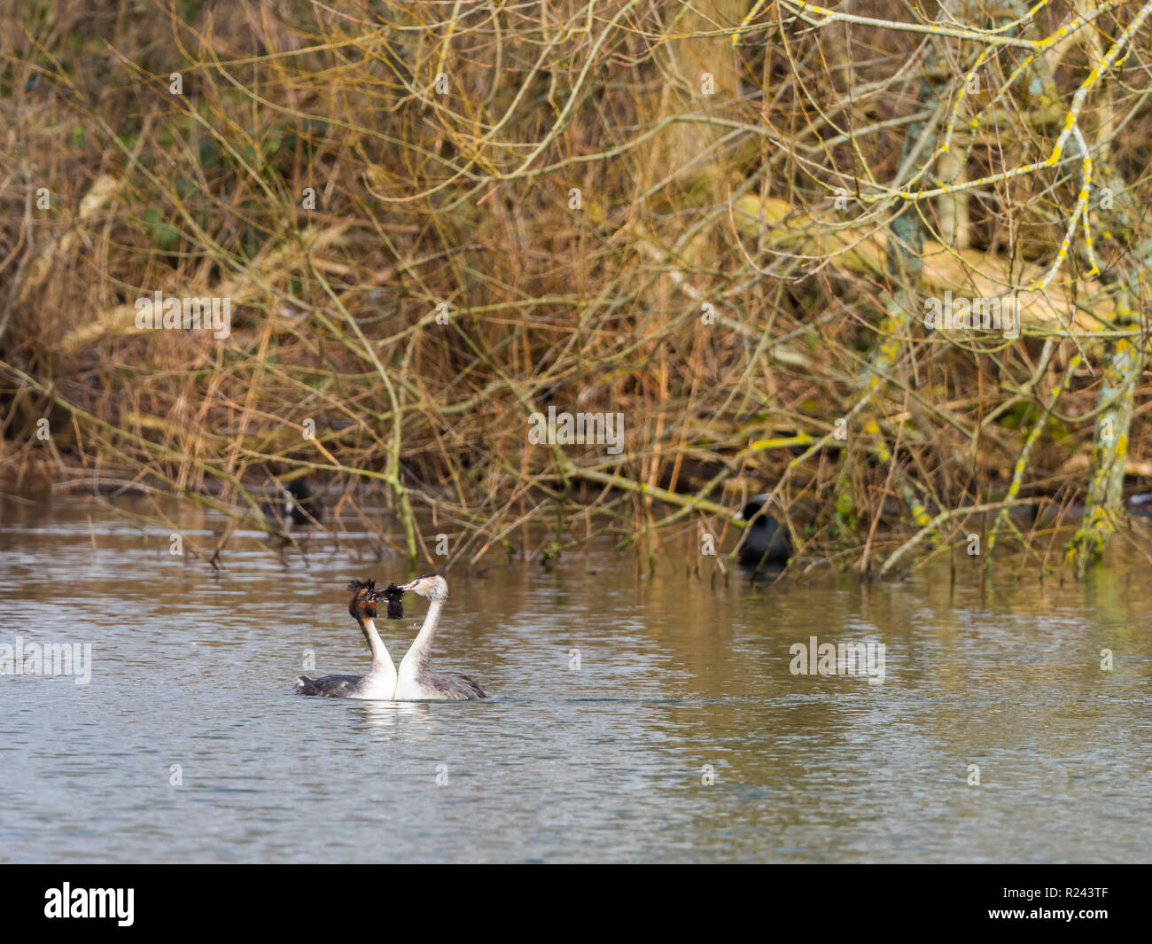 Great Crested Grebe swimming on lake - Stock Image