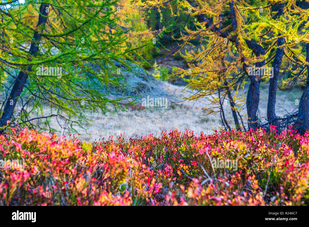 larches forest view in an autumn da in Alpe Devero Stock Photo