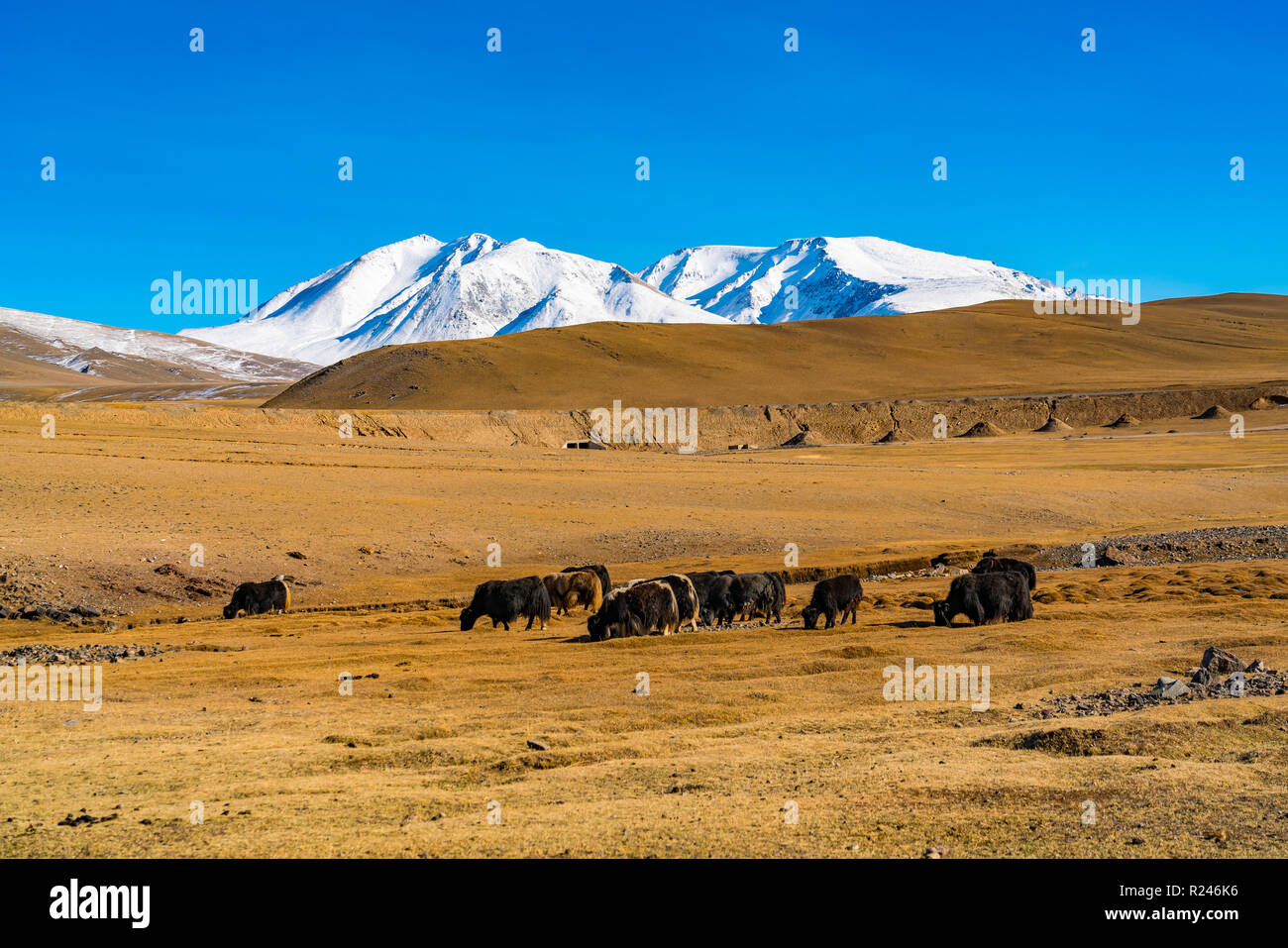Summer view of the steppe with a herd of cows and the beautiful snow capped mountain in Mongolia Stock Photo
