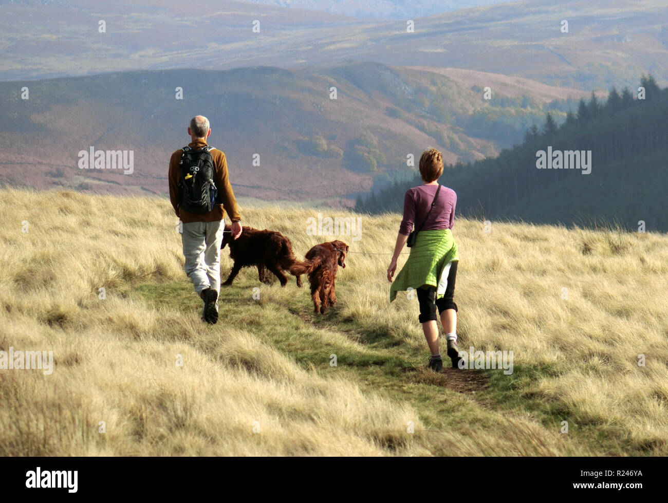 Senior Caucasian Couple Walking Their Irish or Red Setter Dogs, Peak District, England, UK in October - Stock Image