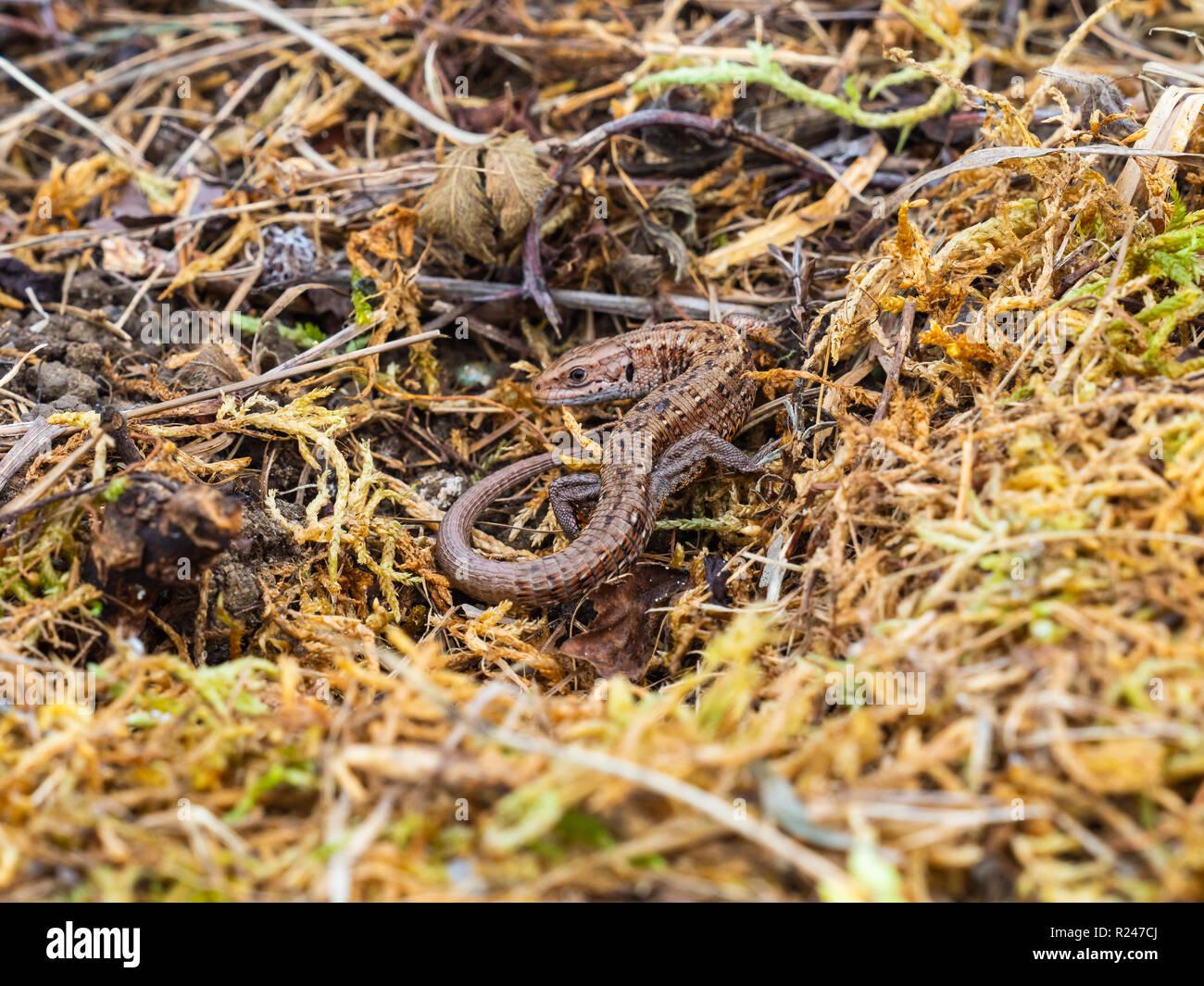 Common lizard (Lacerta Zootoca vivipara) basking - Stock Image