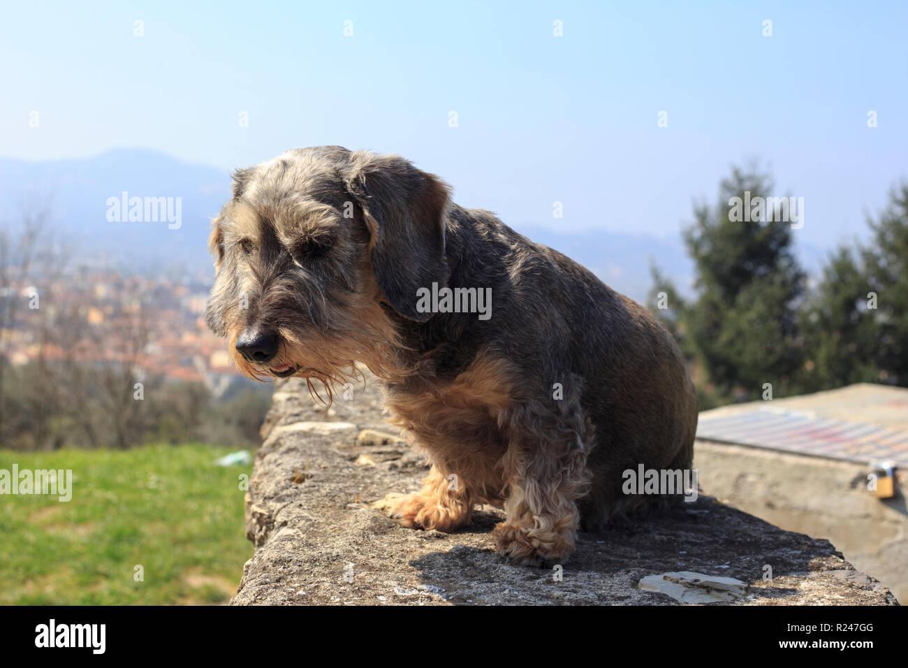 Miniature Dachshund - Stock Image