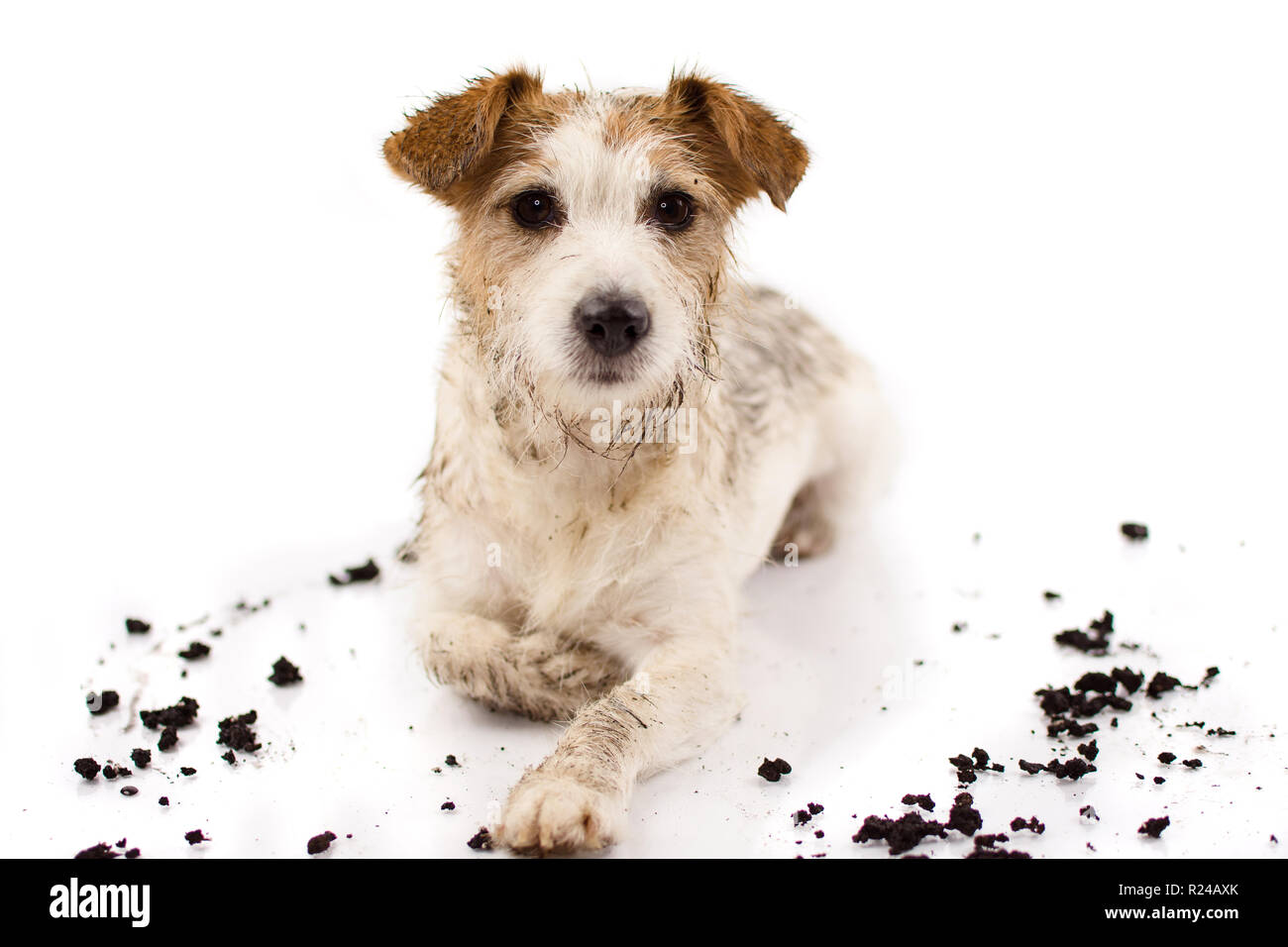 DIRTY JACK RUSSELL DOG LYING DOWN AND LOOKING AT CAMERA AFTER PLAY IN A MUD PUDDLE ISOLATED ON WHITE BACKGROUND. STUDIO SHOT. COPY SPACE. - Stock Image
