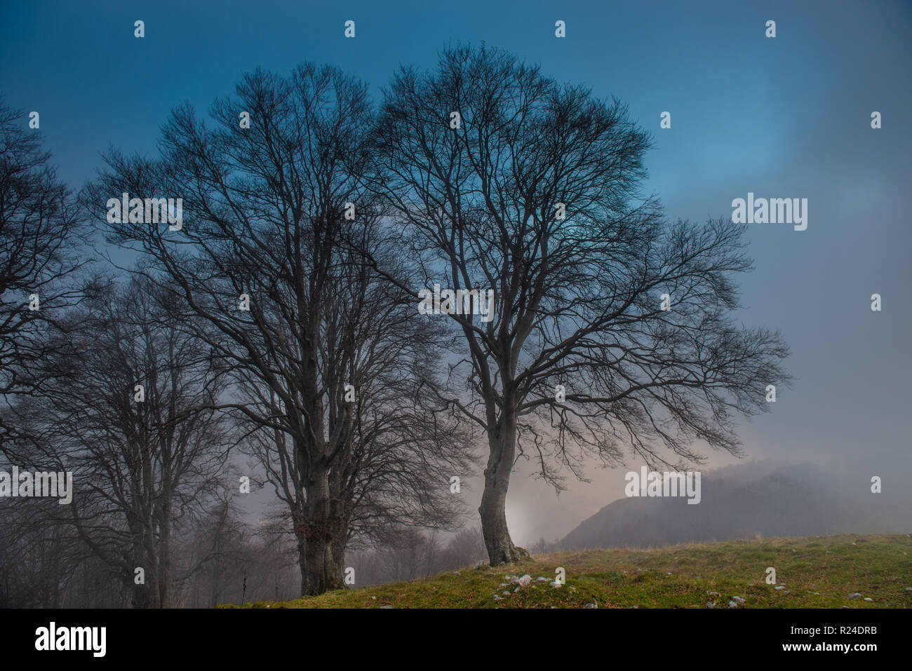 ancient trees immersed in the fog Stock Photo
