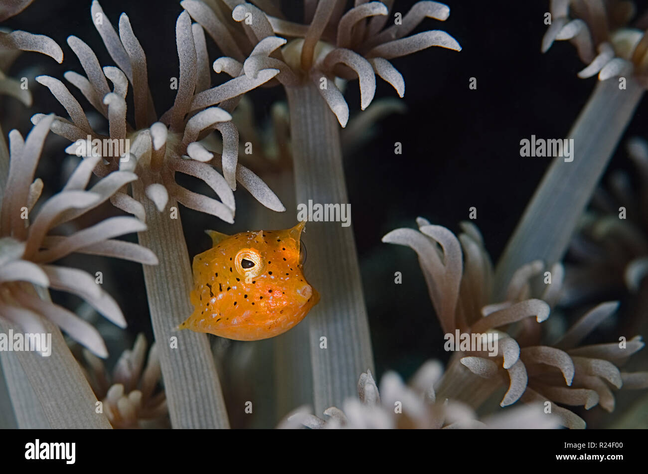 Juvenile yellow boxfish (Ostracion cubicus) is a species of boxfish. It can be found in reefs throughout the Pacific and Indian Ocean. - Stock Image
