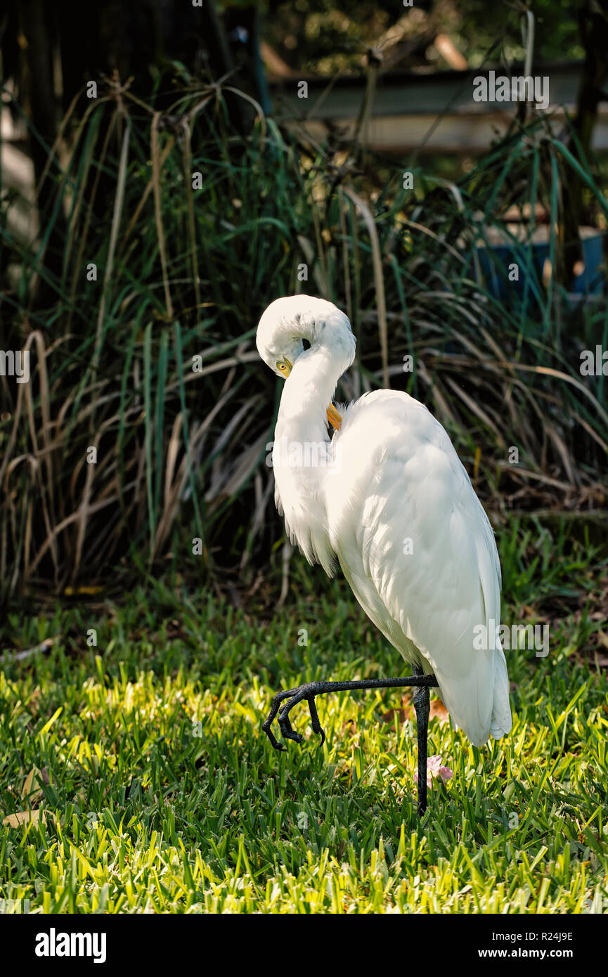 Ornithology and freedom concept. Heron or great egret walking on green grass in Key West, USA. Bird with white feathers and yellow beak on natural background. Wildlife and nature. - Stock Image