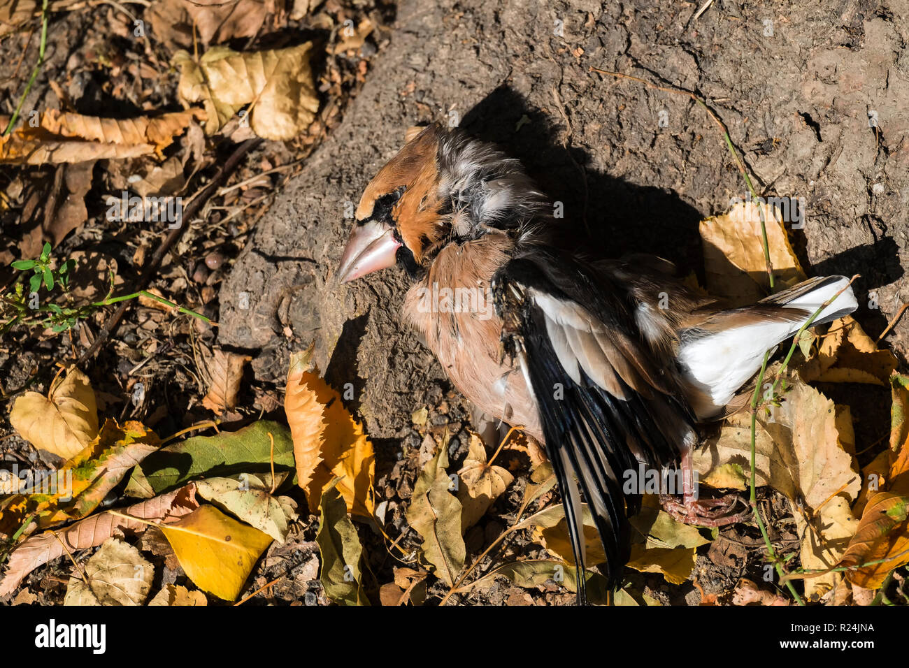 Dead hawfinch lies among the fallen autumn leaves (Coccothraustes coccothraustes) Stock Photo