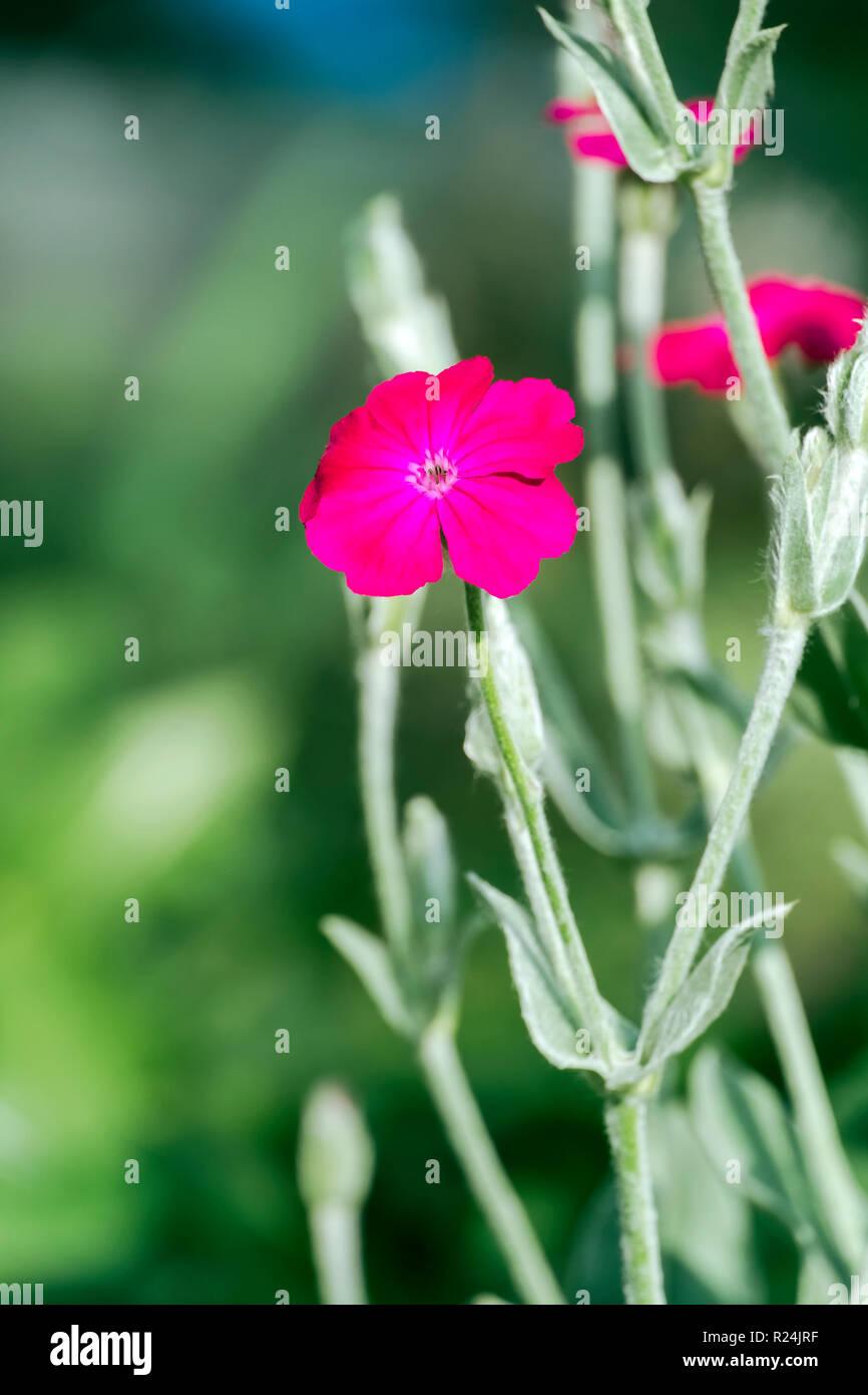 Flower of bloody William (Silene coronaria) - Stock Image