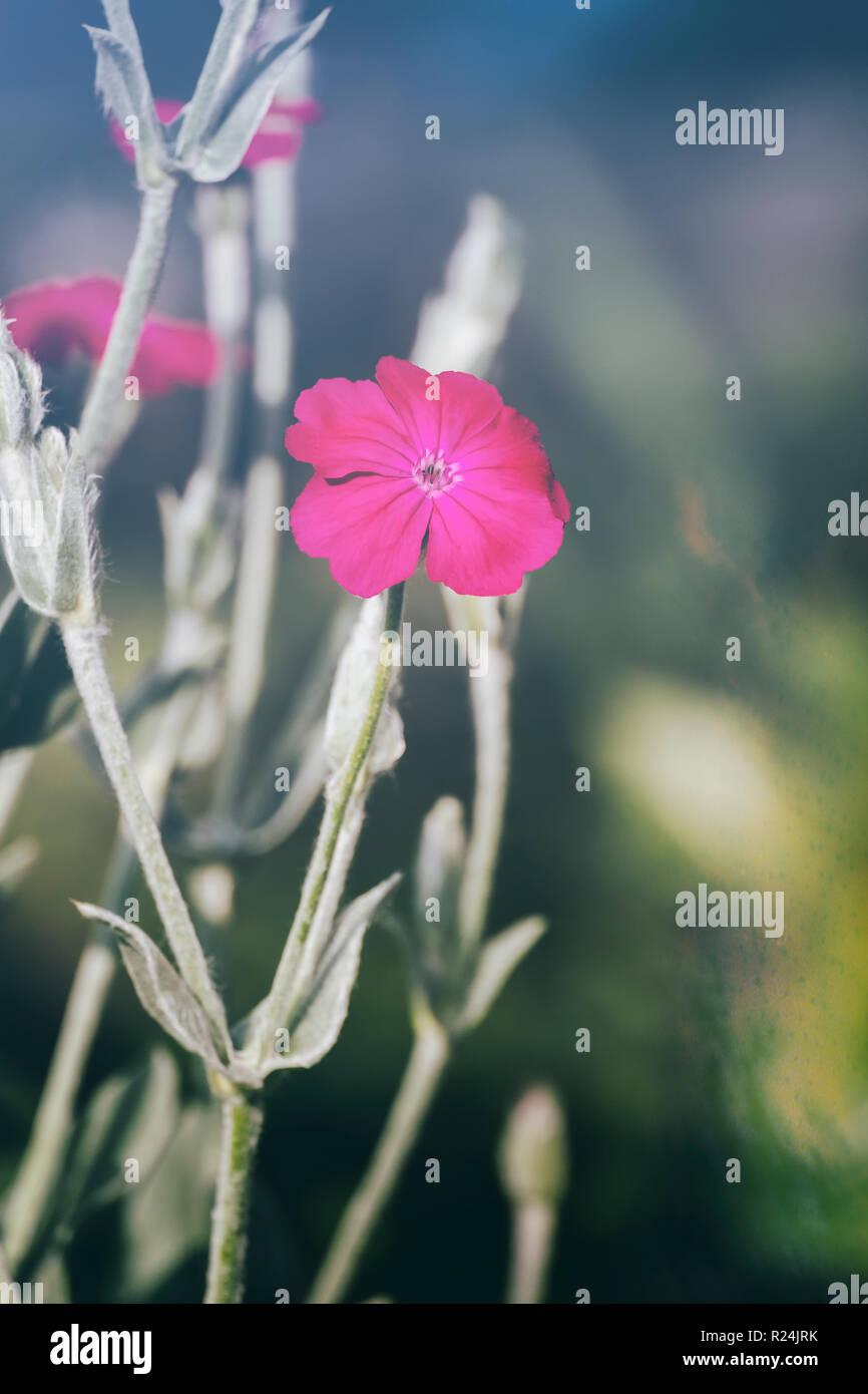 Flower of mullein pink (Silene coronaria) - Stock Image