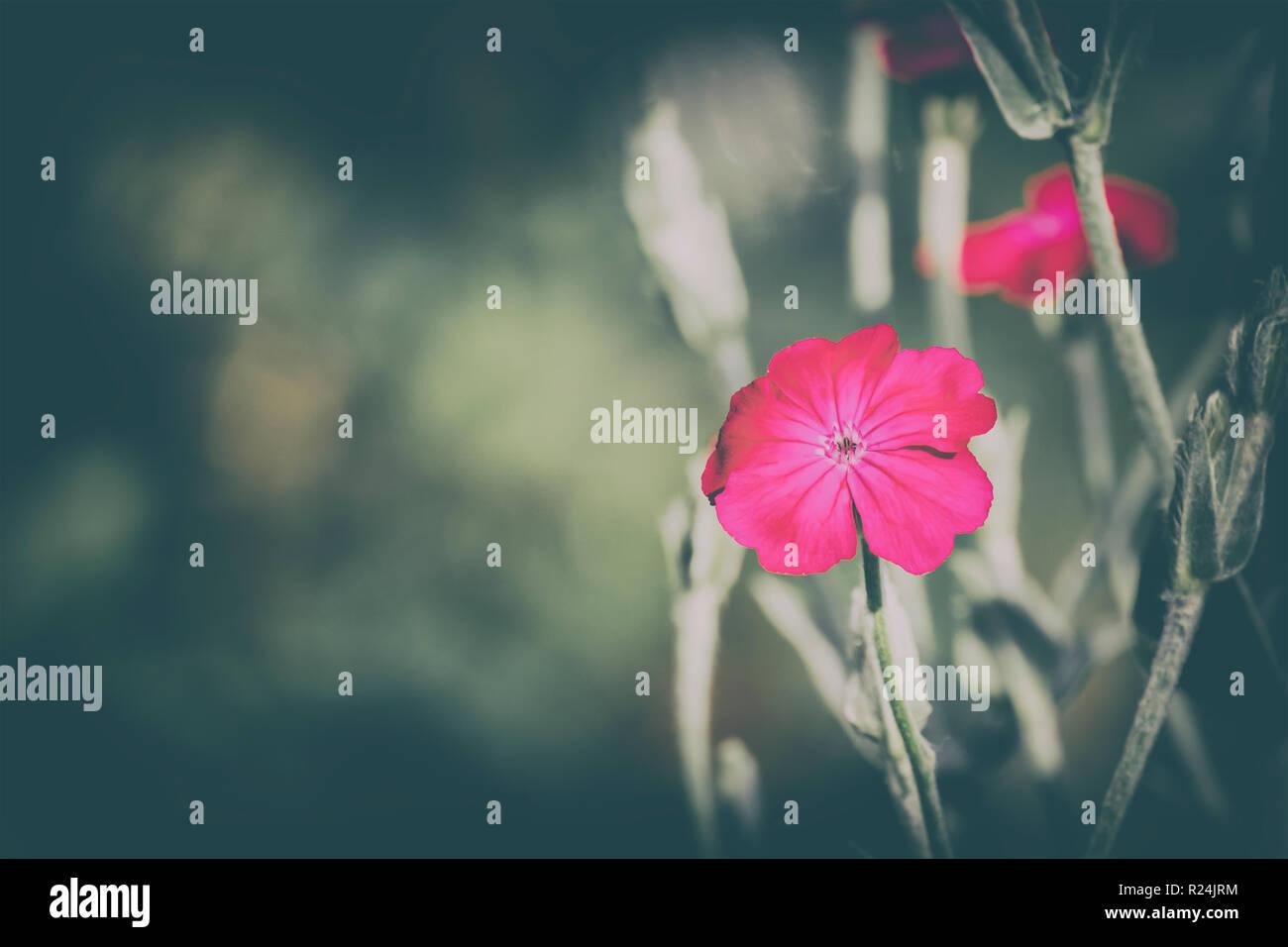 Flower of rose campion (Silene coronaria) - Stock Image