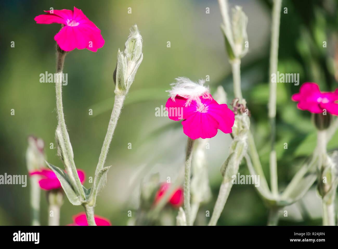 Flowers of rose campion (Silene coronaria) - Stock Image