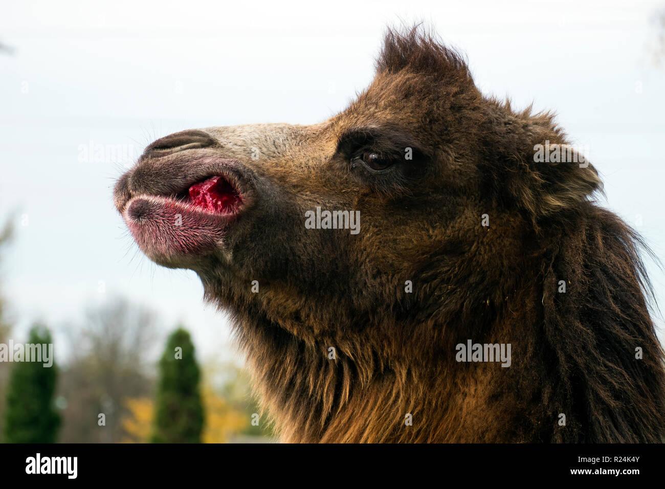 Bactrian camel chews sugar beet (Camelus bactrianus) - Stock Image
