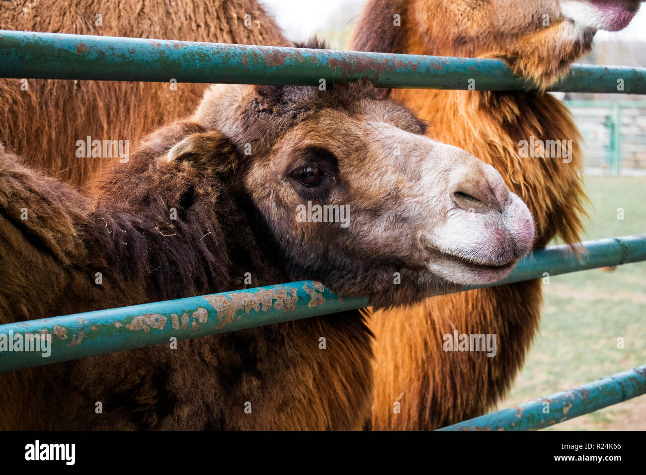 Brown Bactrian camel stuck his head through the fence and watching with sadness in his eyes (Camelus bactrianus) - Stock Image