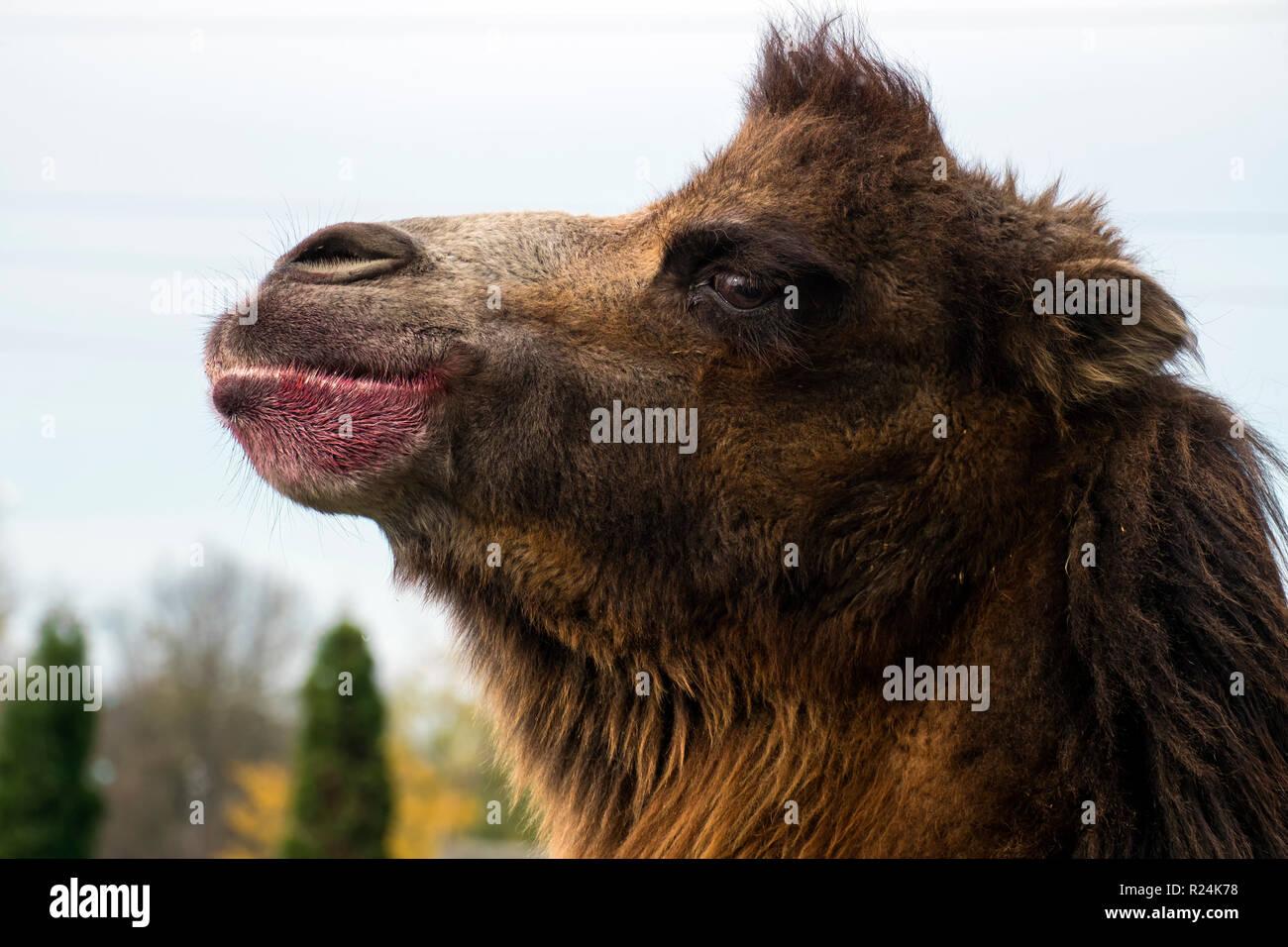 Head of Bactrian camel in half-face (Camelus bactrianus) - Stock Image