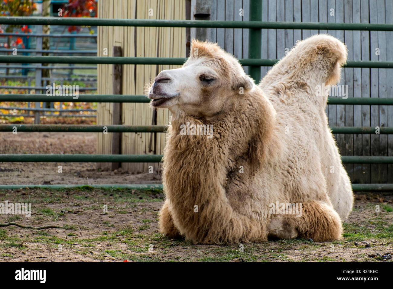 White Bactrian camel resting on the ground (Camelus bactrianus) - Stock Image