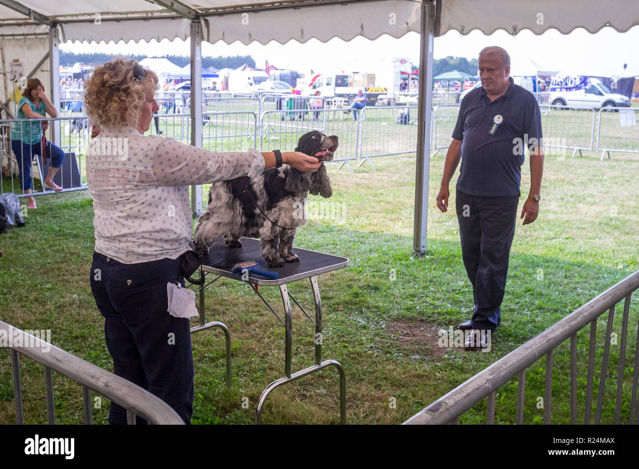 Judging a Springer Spaniel at Thame horse and Dog Show, Oxfordshire - Stock Image