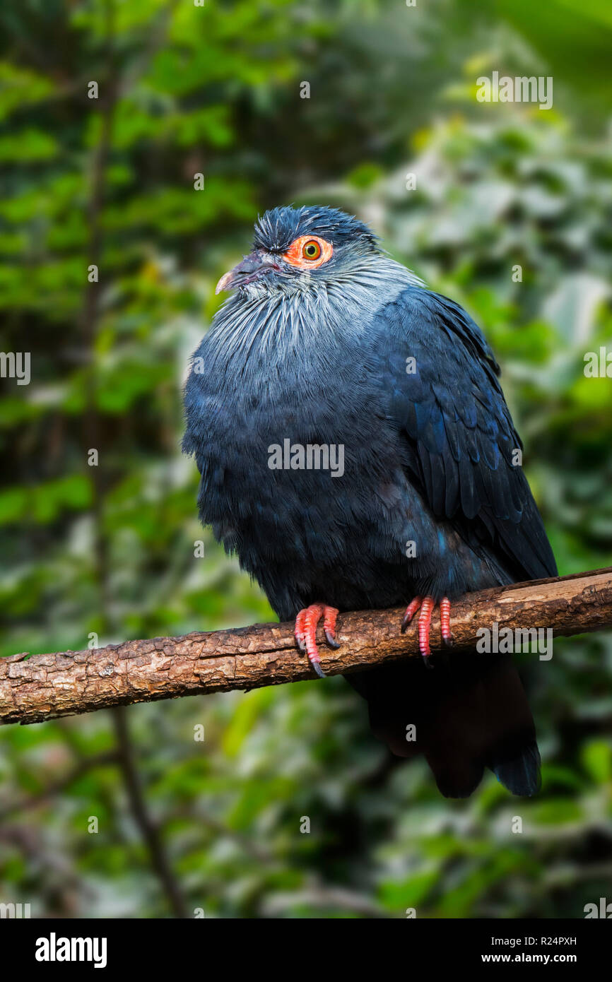 Madagascan blue pigeon (Alectroenas madagascariensis / Columba madagascariensis)  endemic to Madagascar, Africa - Stock Image