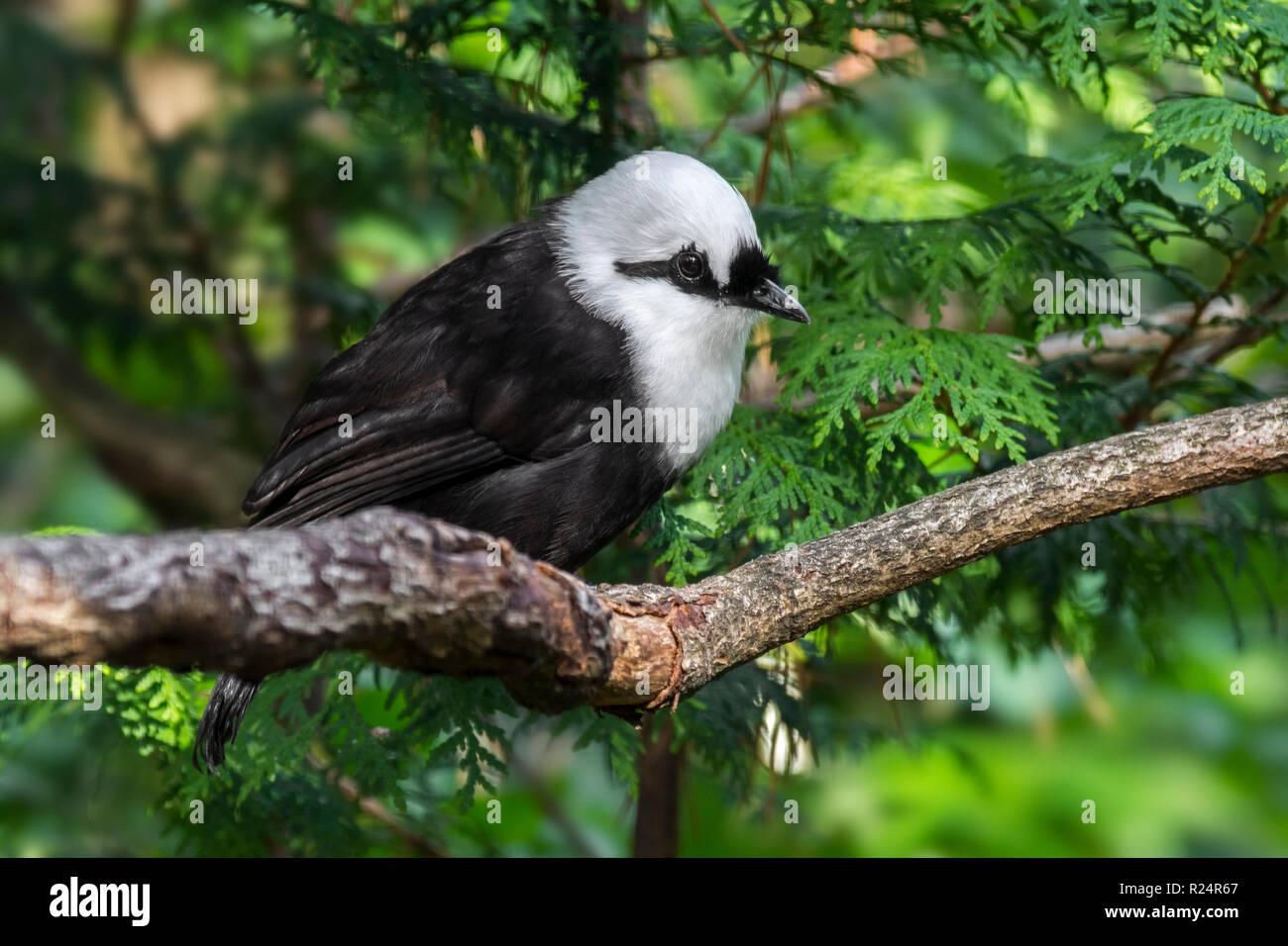 Sumatran laughingthrush / black-and-white laughingthrush (Garrulax bicolor) endemic to the Indonesian island of Sumatra - Stock Image