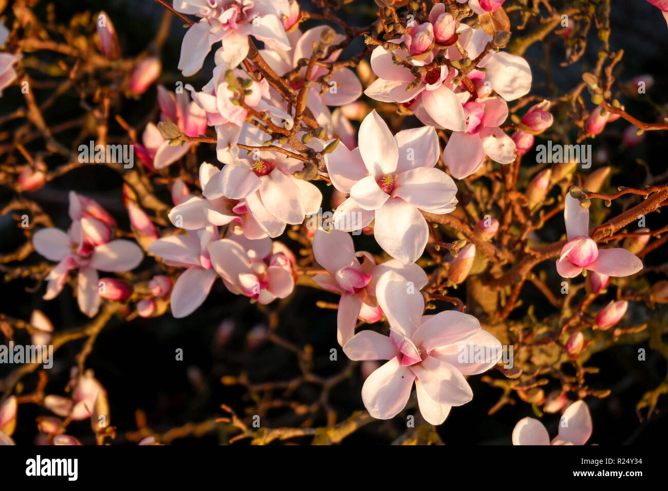 Magnolia Blossom from above in the evening light Stock Photo