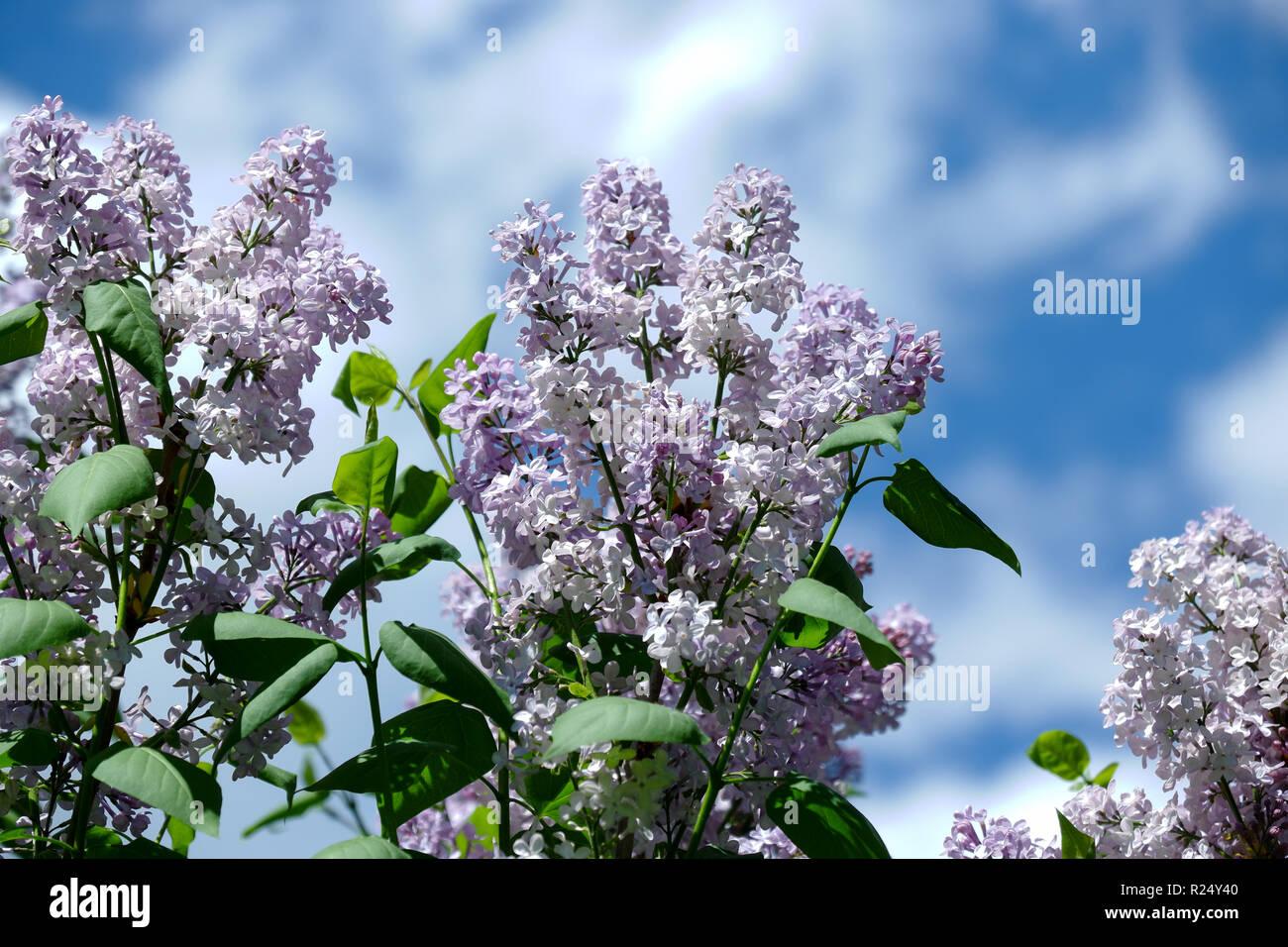 Flowering lilac bush Stock Photo
