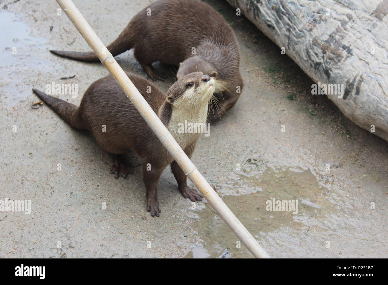 Chonburi thailand th nov the asian small clawed otter