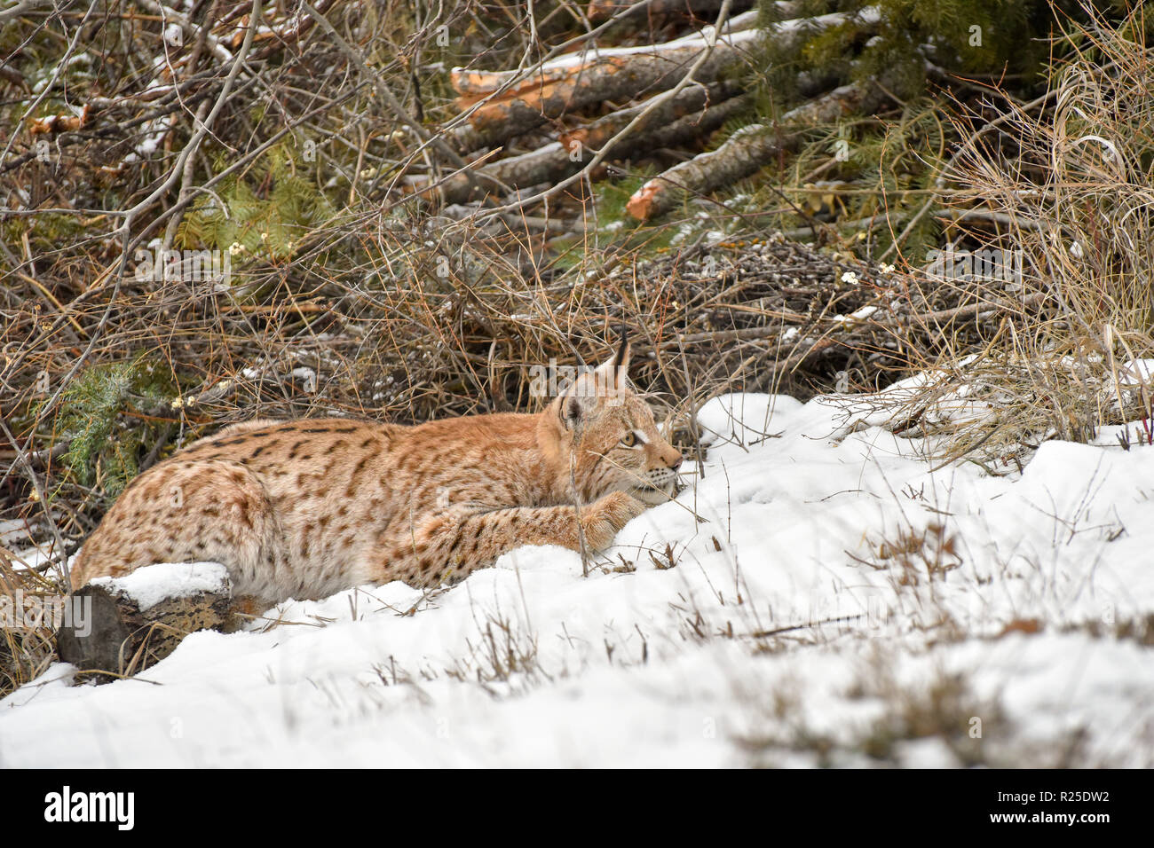 Siberian Lynx Crouched in the Snow and Ready to Pounce - Stock Image