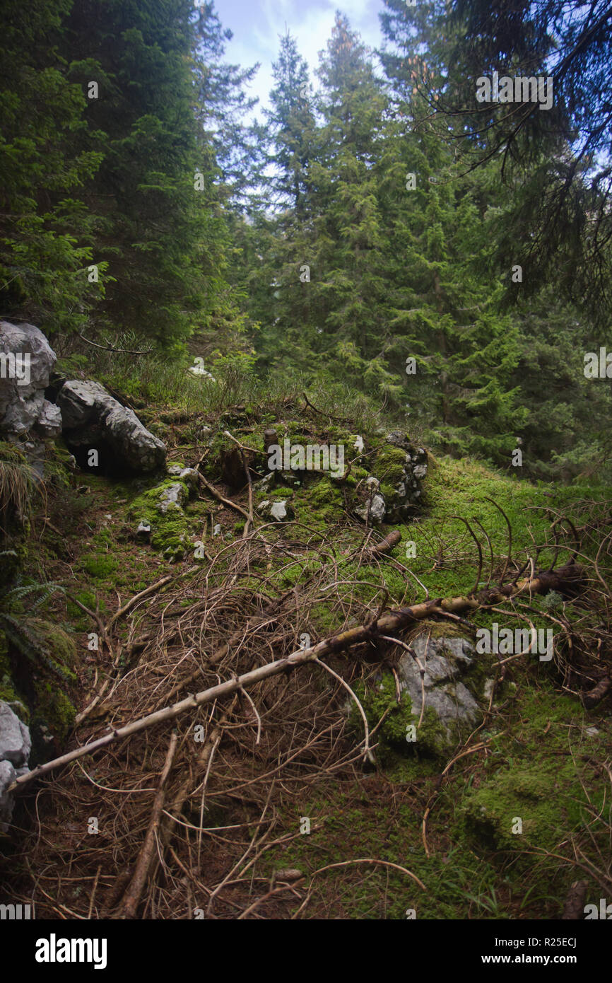Alpine forest, Alpe Adria trail, Julian Alps, Slovenia, Central Europe - Stock Image