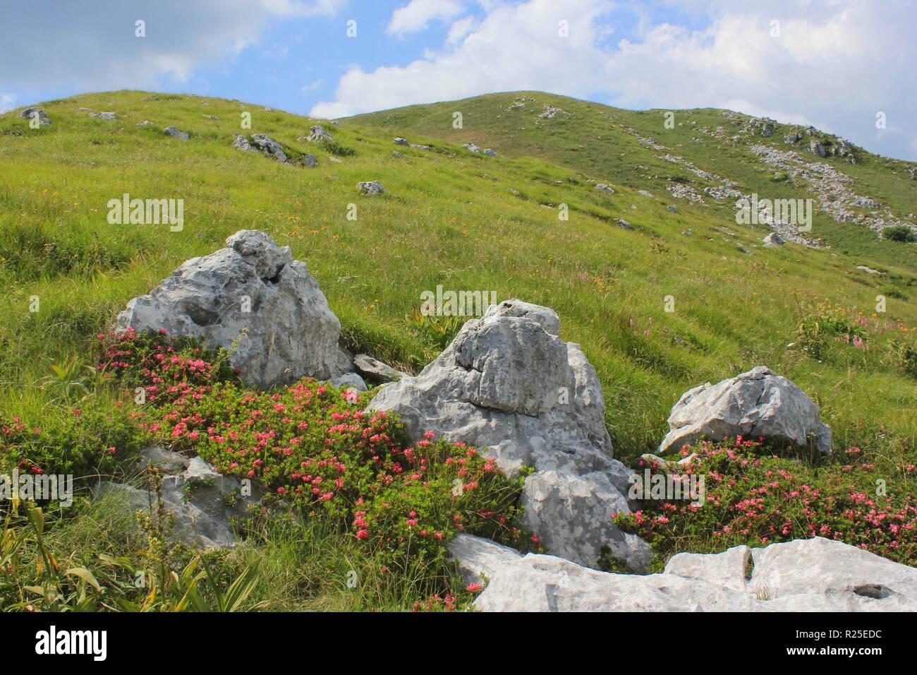 Great Laurel flowers (rhododendron) alpine pasture landscape on Mount Kobariski Stol, Julian Alps, Alpe Adria trail, Slovenia, central Europe - Stock Image