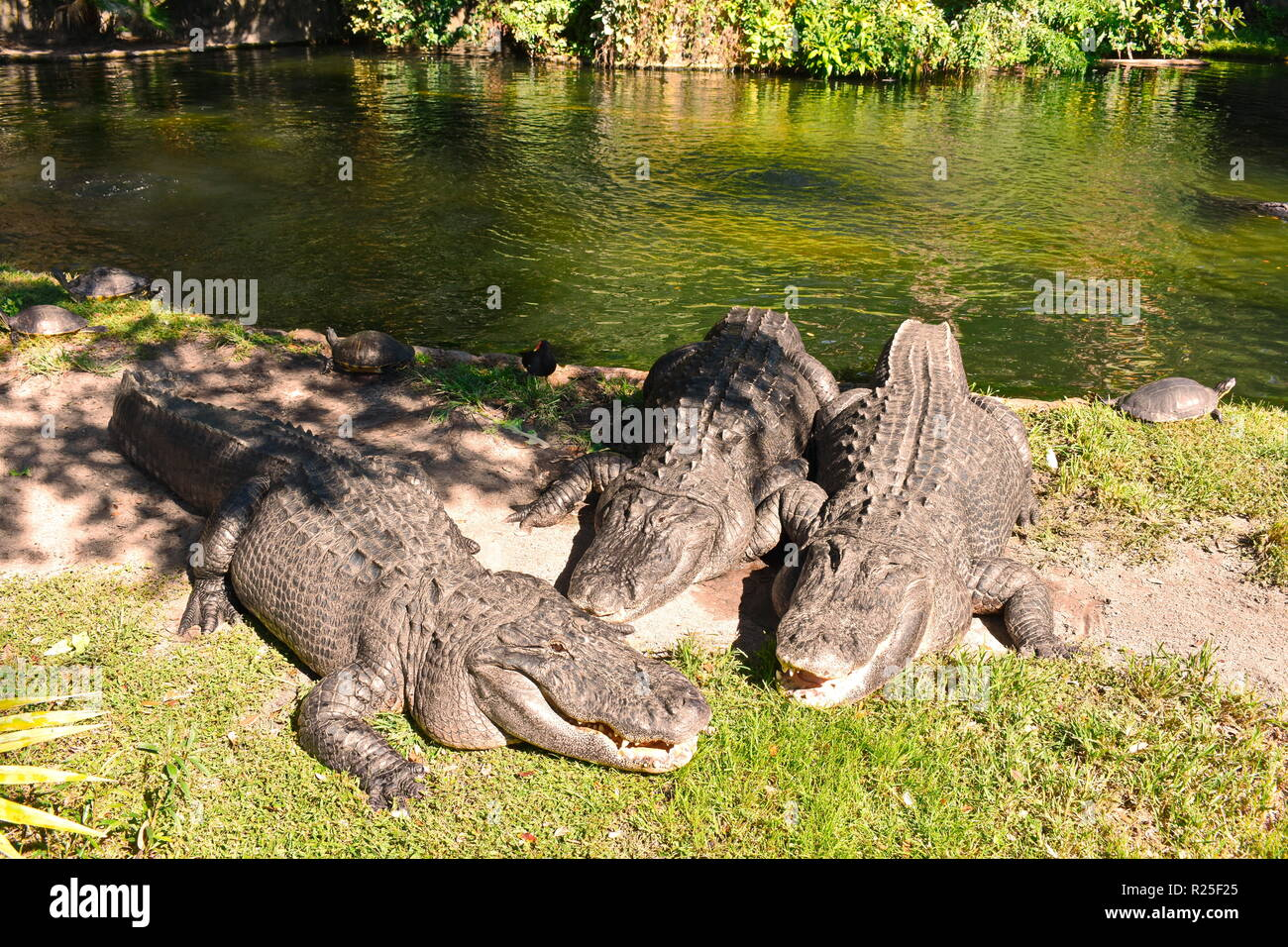 Tampa, Florida. October 25, 2018. Alligators relaxing on the side of a lagoon at Bush Gardens Tampa Bay. - Stock Image