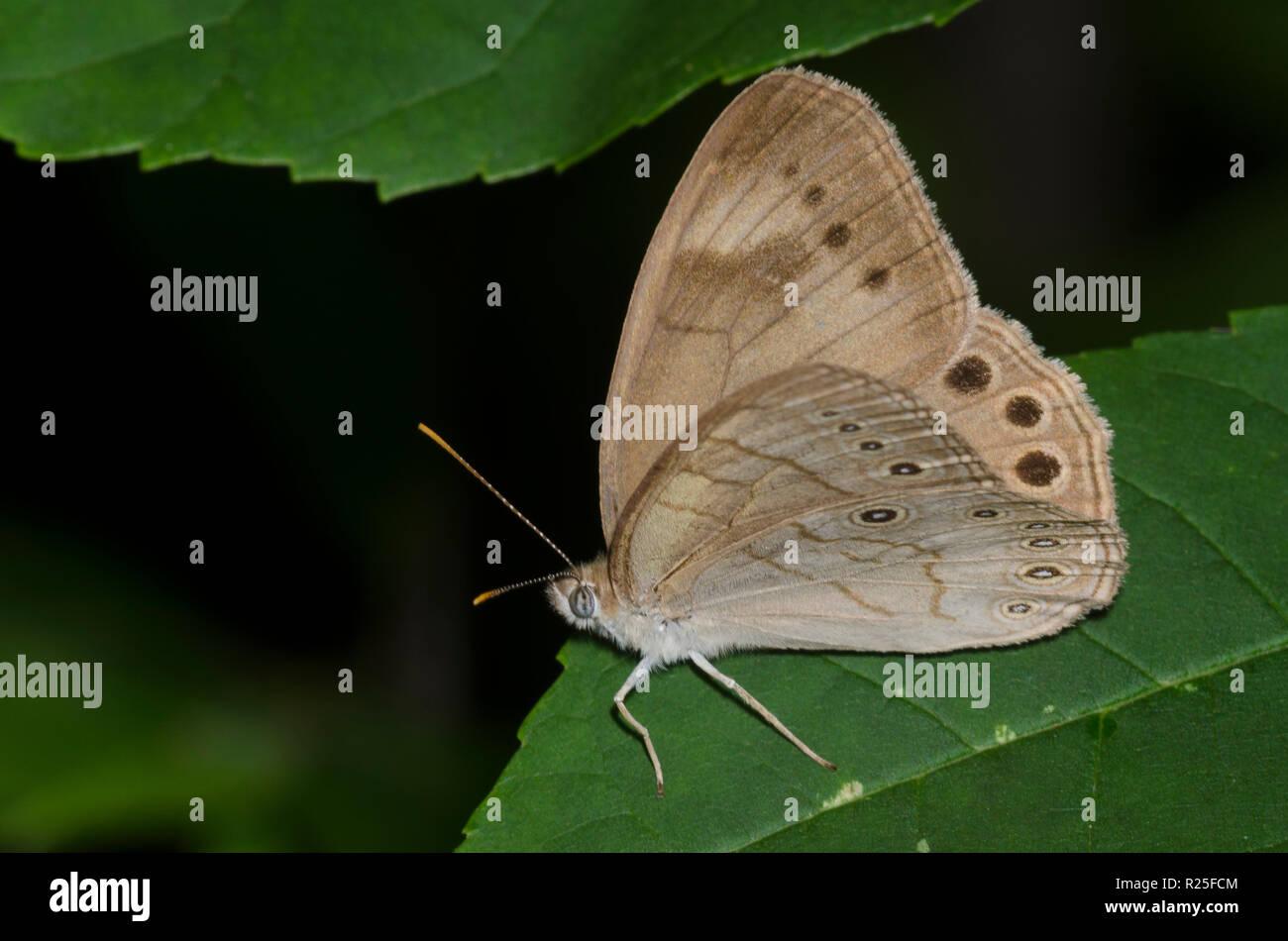 Appalachian Brown, Lethe appalachia - Stock Image
