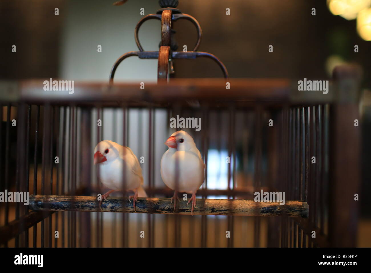 chinese bird in cage - Stock Image