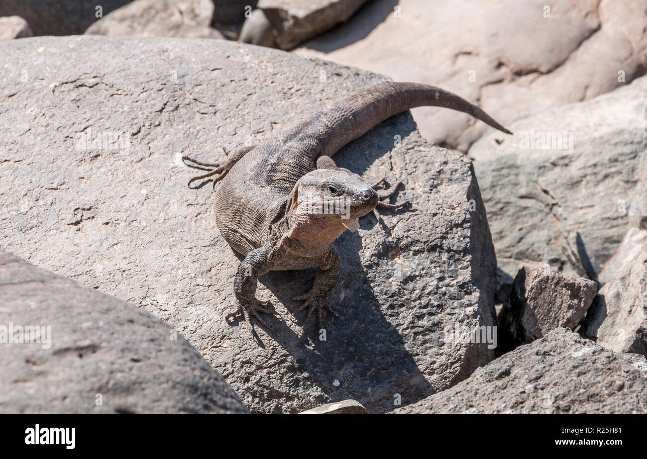 Close-up of Gran Canaria giant lizard, Gallotia stehlini. It is endemic to Gran Canaria, in the Canary Islands, Spain. Photo taken in Maspalomas Stock Photo