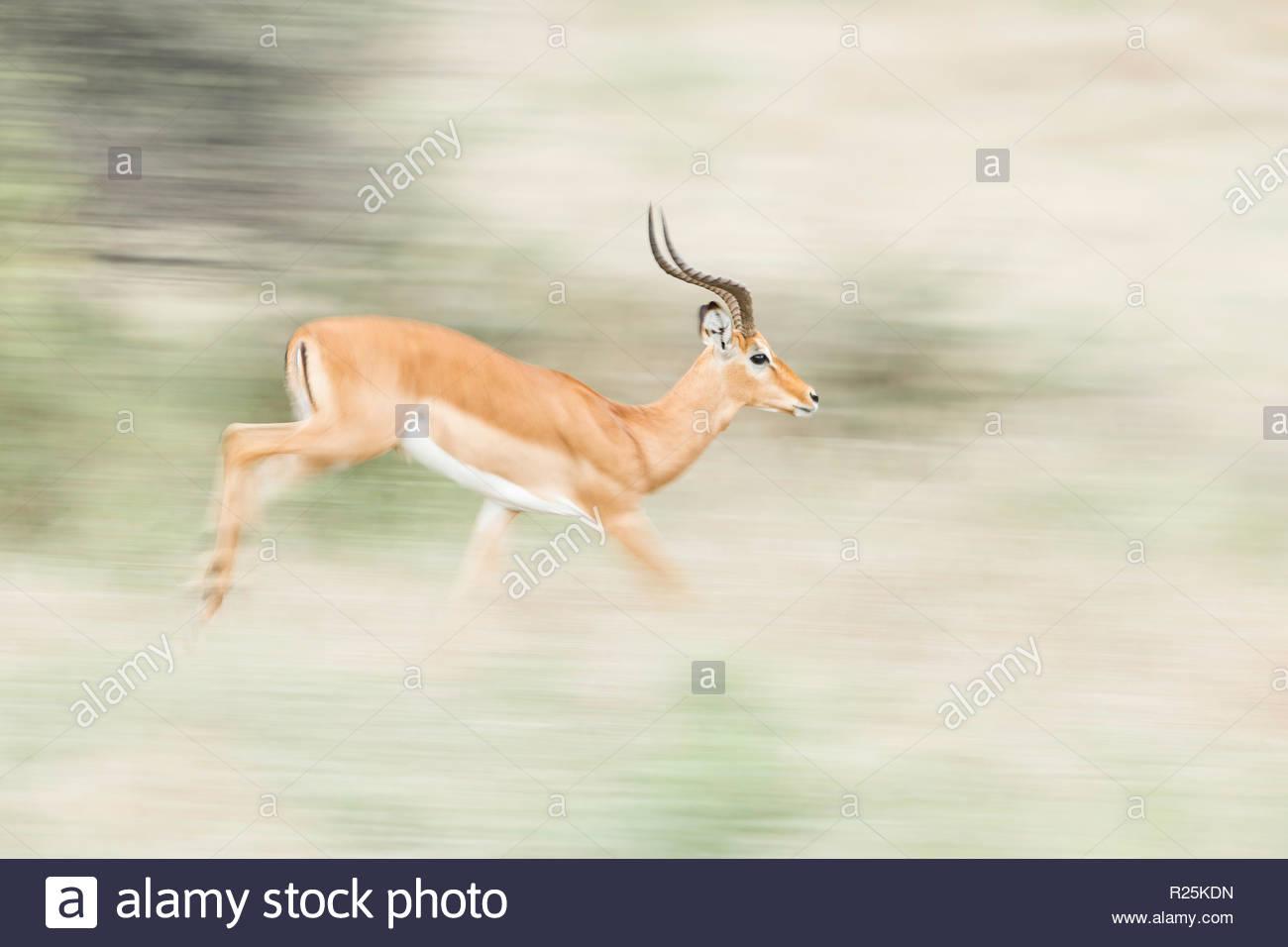 Impala (Aepyceros melampus), Khwai, Botswana, Africa Stock Photo