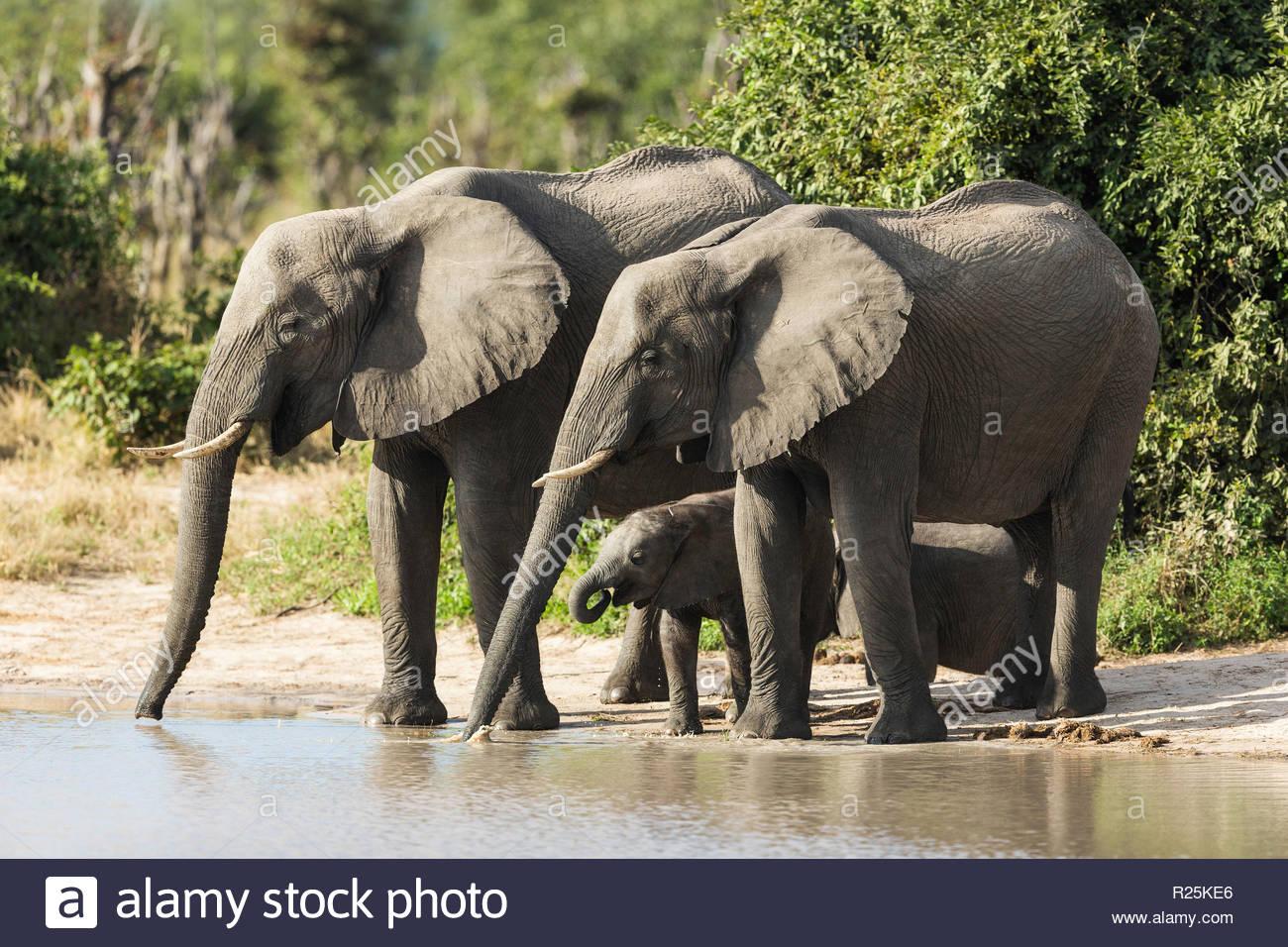 African elephant (Loxodonta africana), Savuti, Botswana, Africa - Stock Image