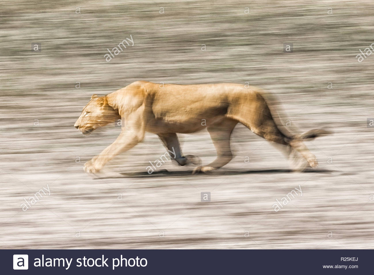 Lion (Pathera leo), Edge of Chobe River, Botswana, Africa - Stock Image