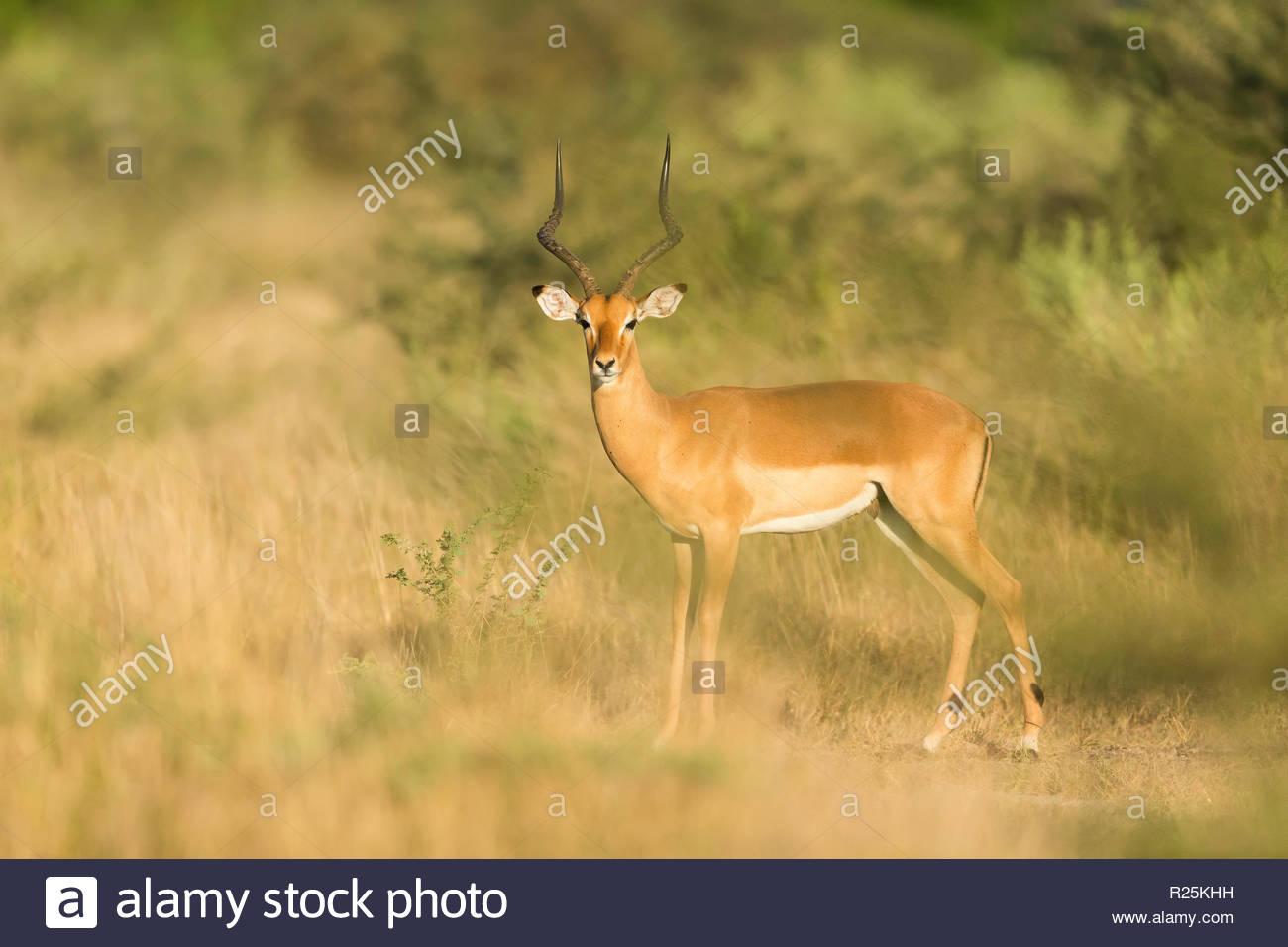 Impala (Aepyceros melampus), Khwai, Botswana, Africa - Stock Image