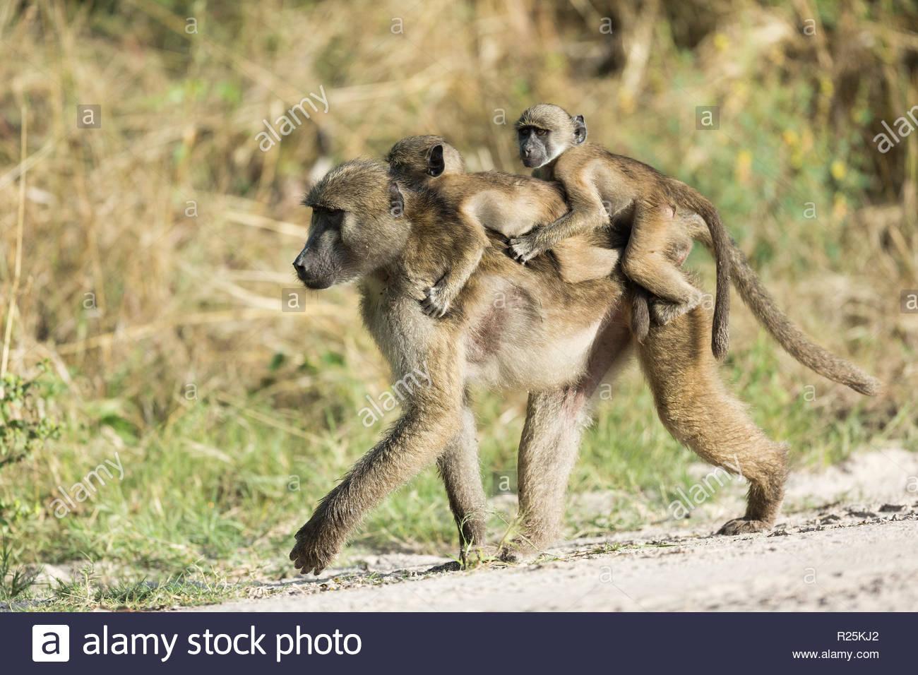 Baboon (Hamadryas papio) carrying twins, Khwai, Botswana, Africa Stock Photo