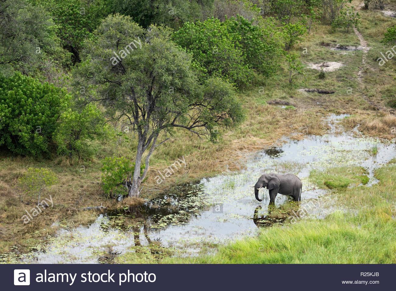 African Elephant (Loxodonta africana), Khwai, Botswana, Africa - Stock Image