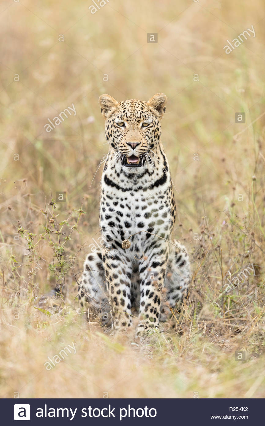 Leopard (Panthera pardus), Khwai, Botswana, Africa Stock Photo