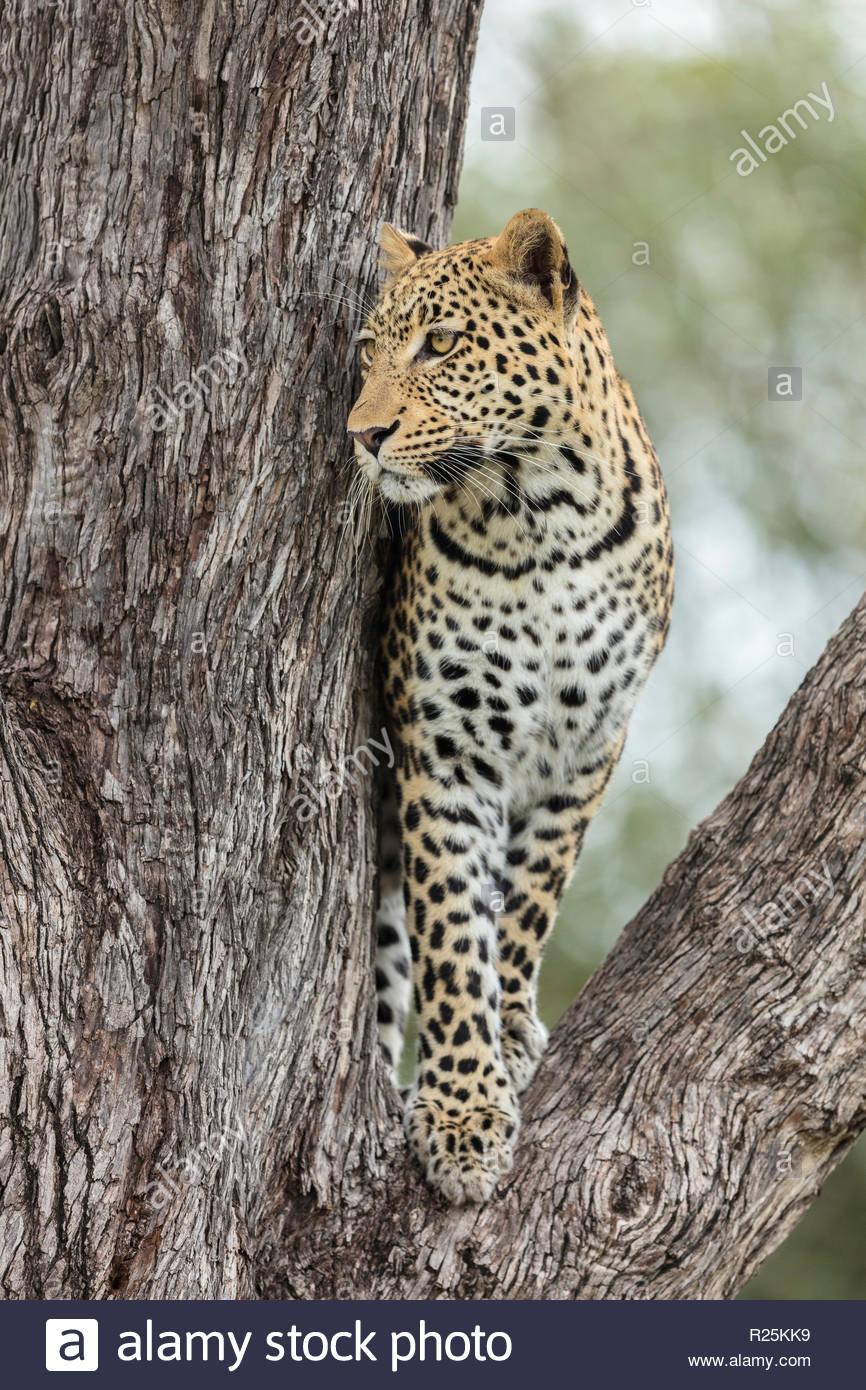 Leopard (Panthera pardus), Khwai, Botswana, Africa - Stock Image