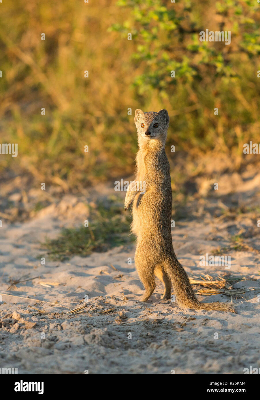 Yellow mongoose (Cynictis penicillata), Savuti, Botswana, Africa - Stock Image